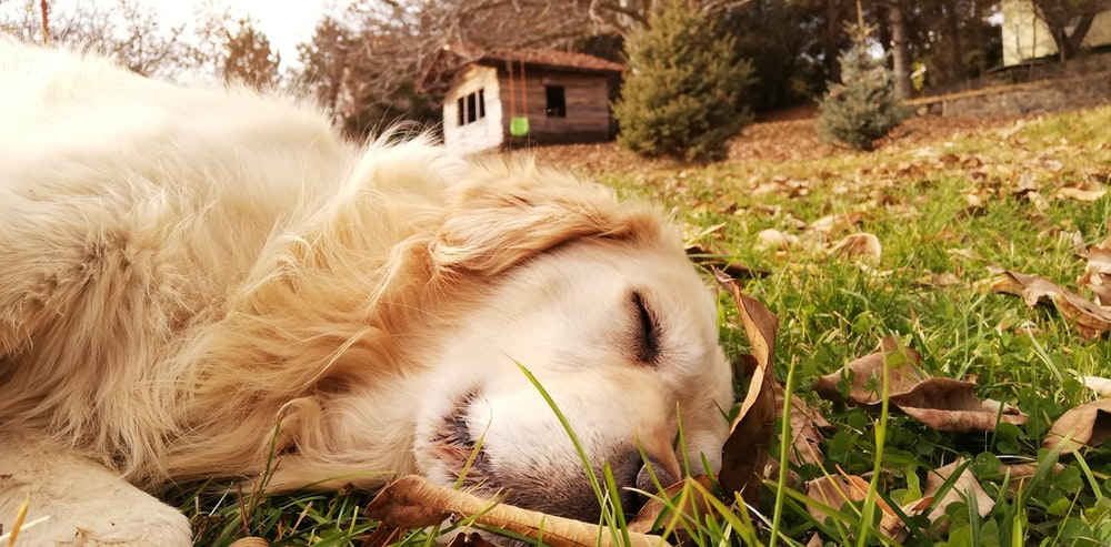 golden retriever lying on green grass field during daytime