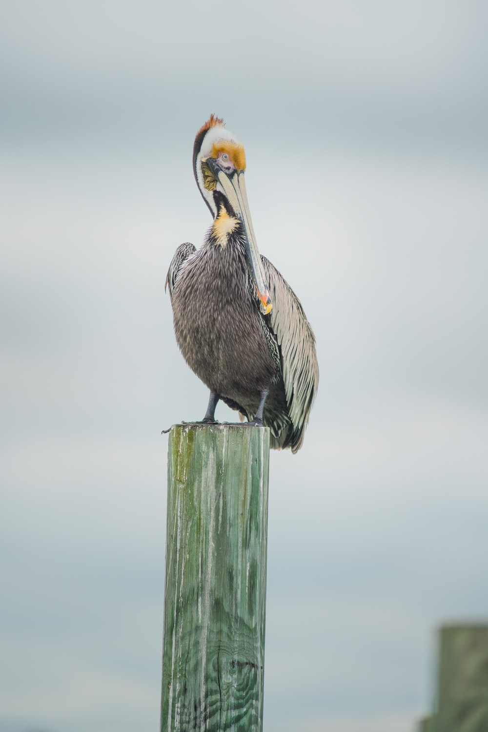 brown pelican on brown wooden post during daytime