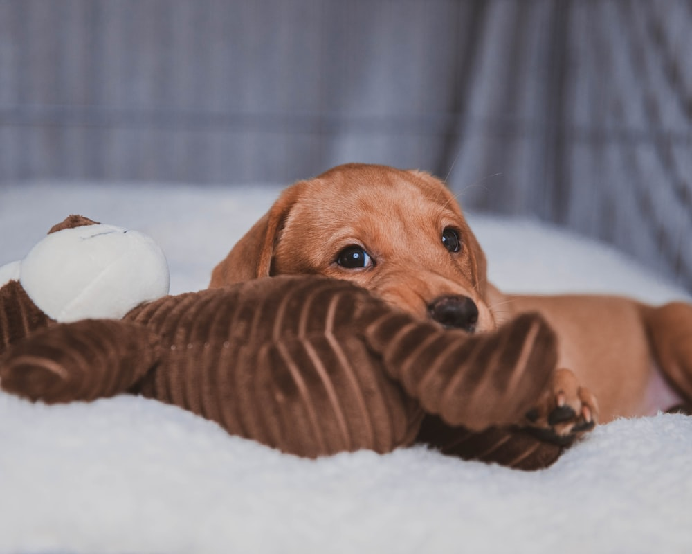 brown short coated dog lying on white textile pet wipes