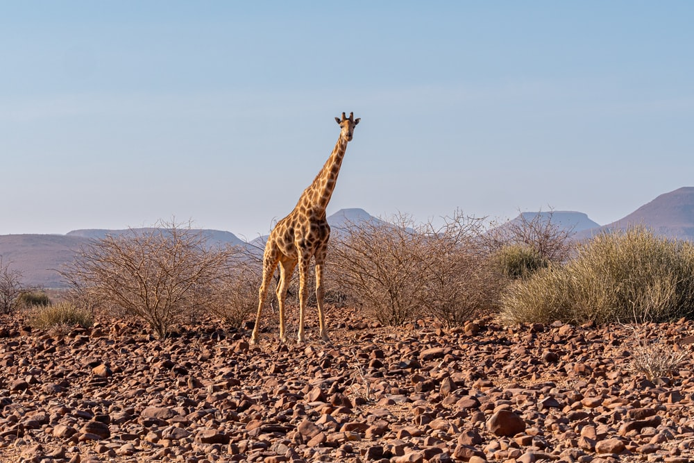 giraffe standing on brown field during daytime