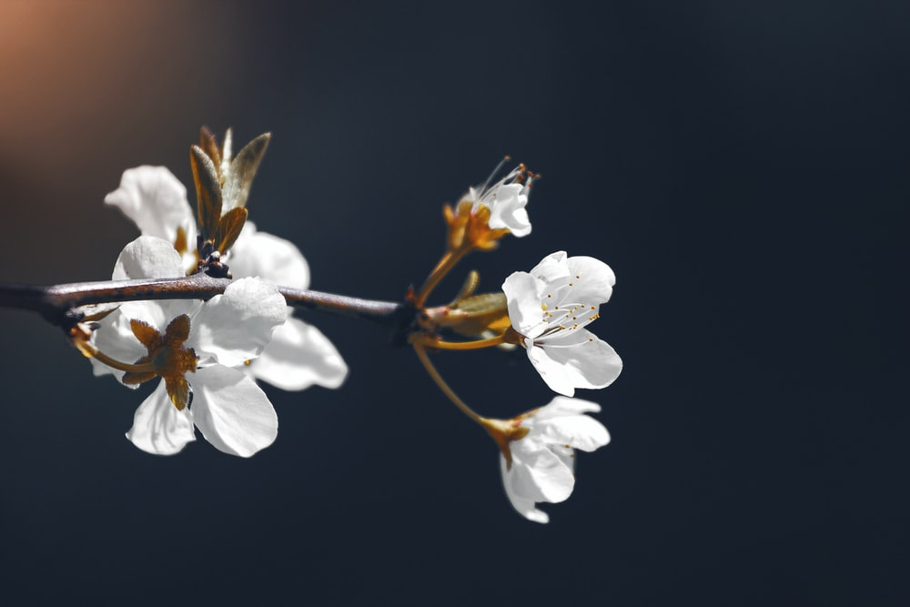 white cherry blossom in bloom close up photo