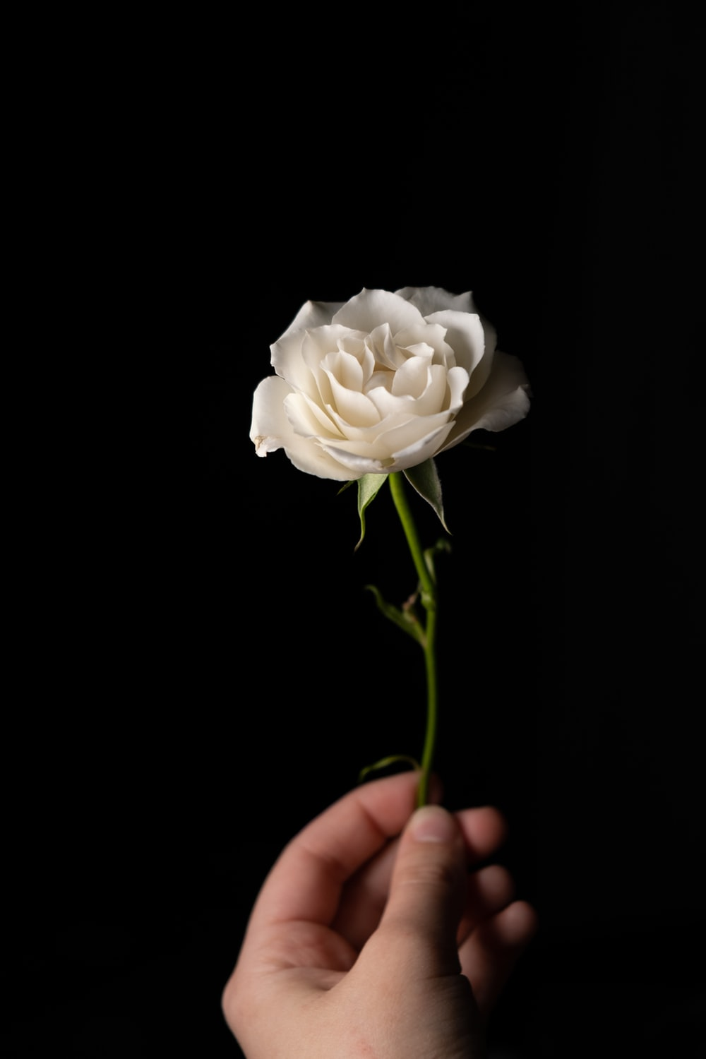white rose in persons hand