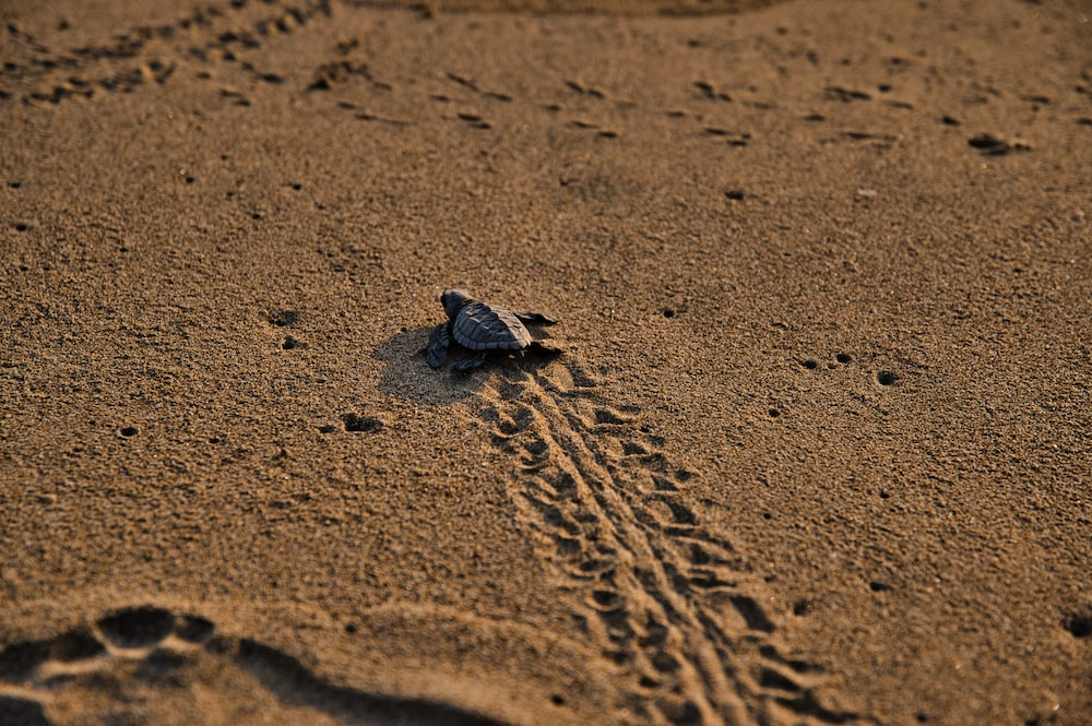 brown sea turtle on brown sand during daytime