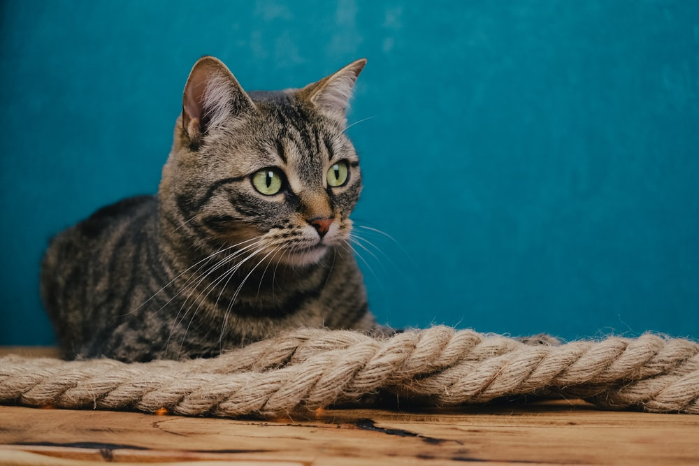 brown tabby cat on brown wooden surface