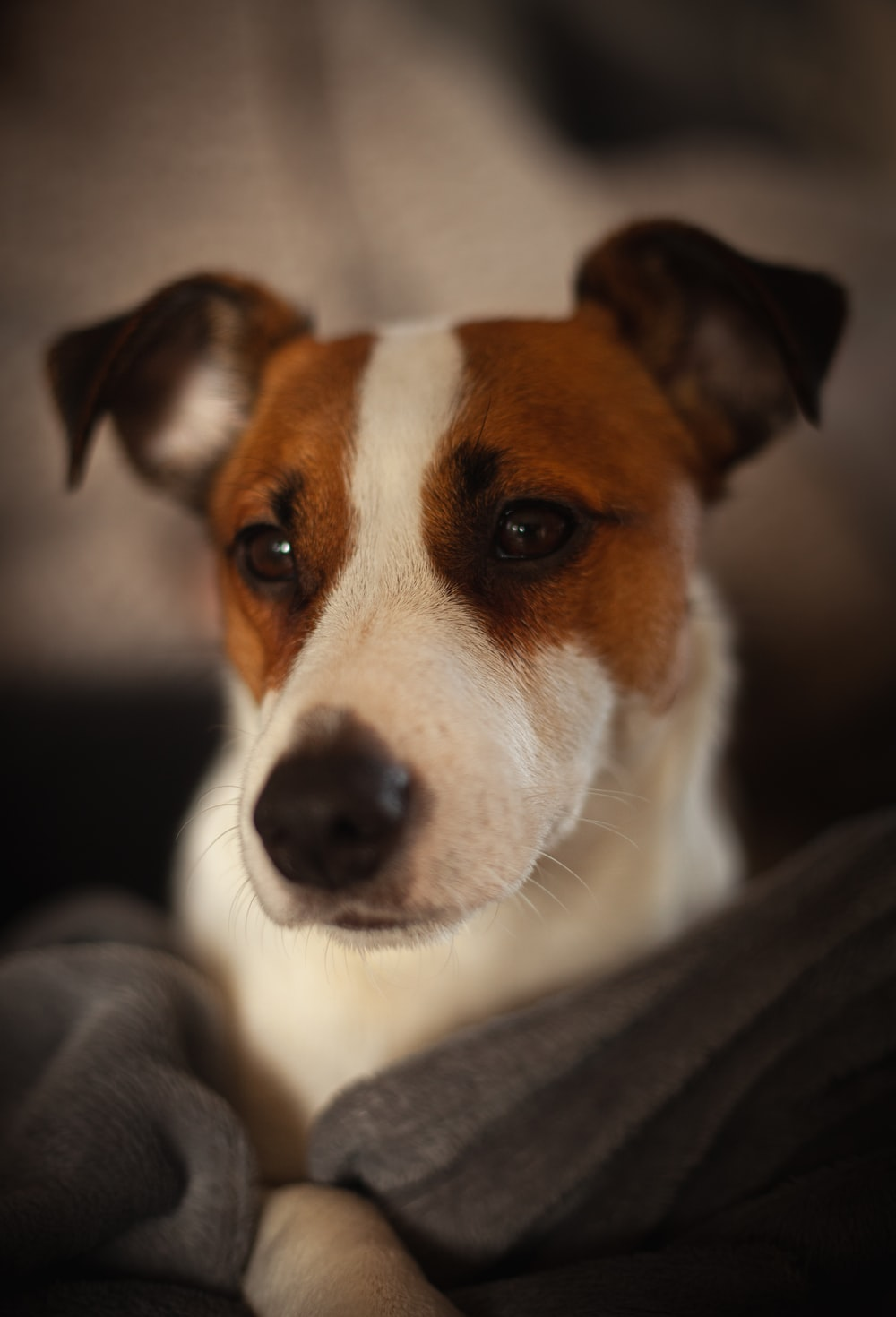 white and brown short coated dog