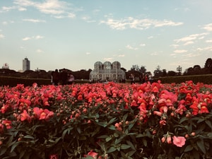 red flower field near city buildings during daytime
