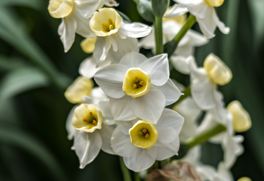 white and yellow daffodils in bloom during daytime