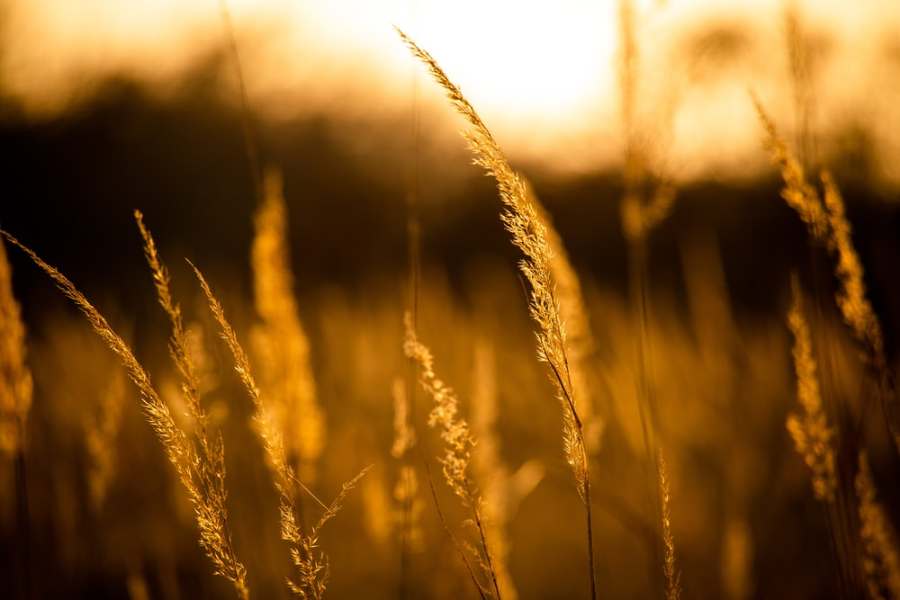 brown wheat in close up photography