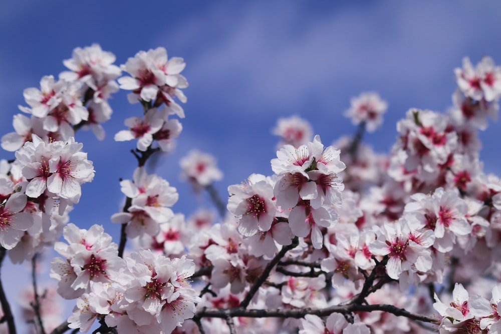 white and pink cherry blossom flowers in bloom during daytime