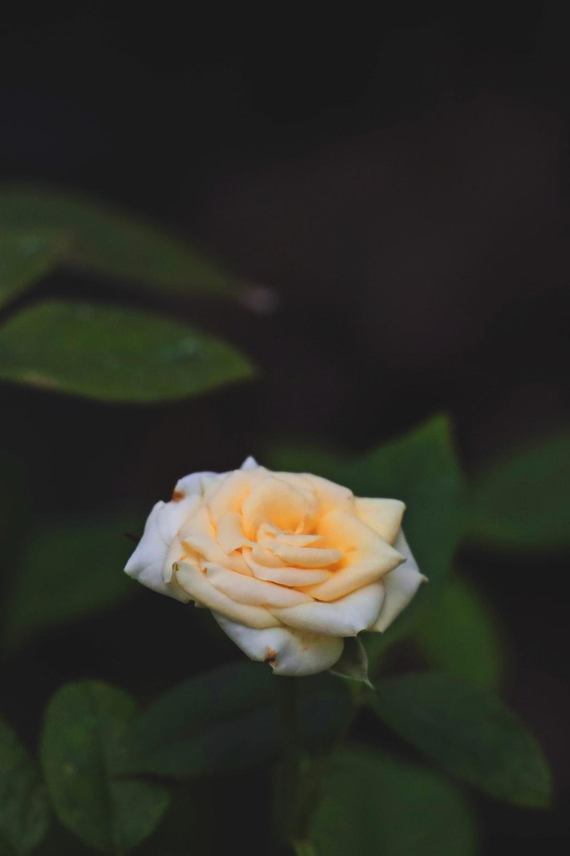 yellow rose in bloom during daytime