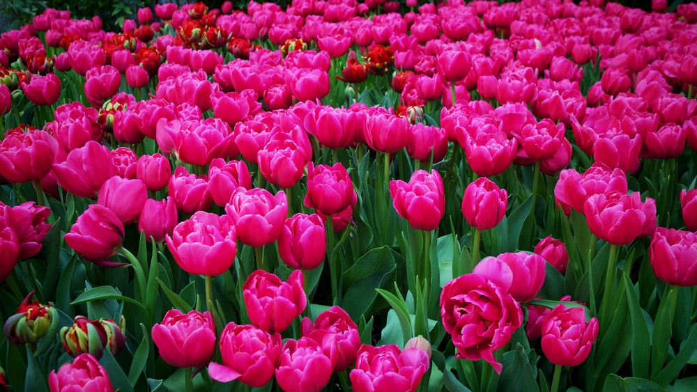 pink tulips field during daytime