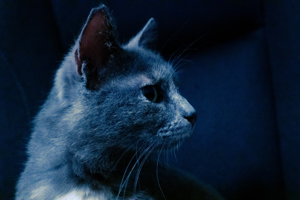 gray and white cat with blue eyes