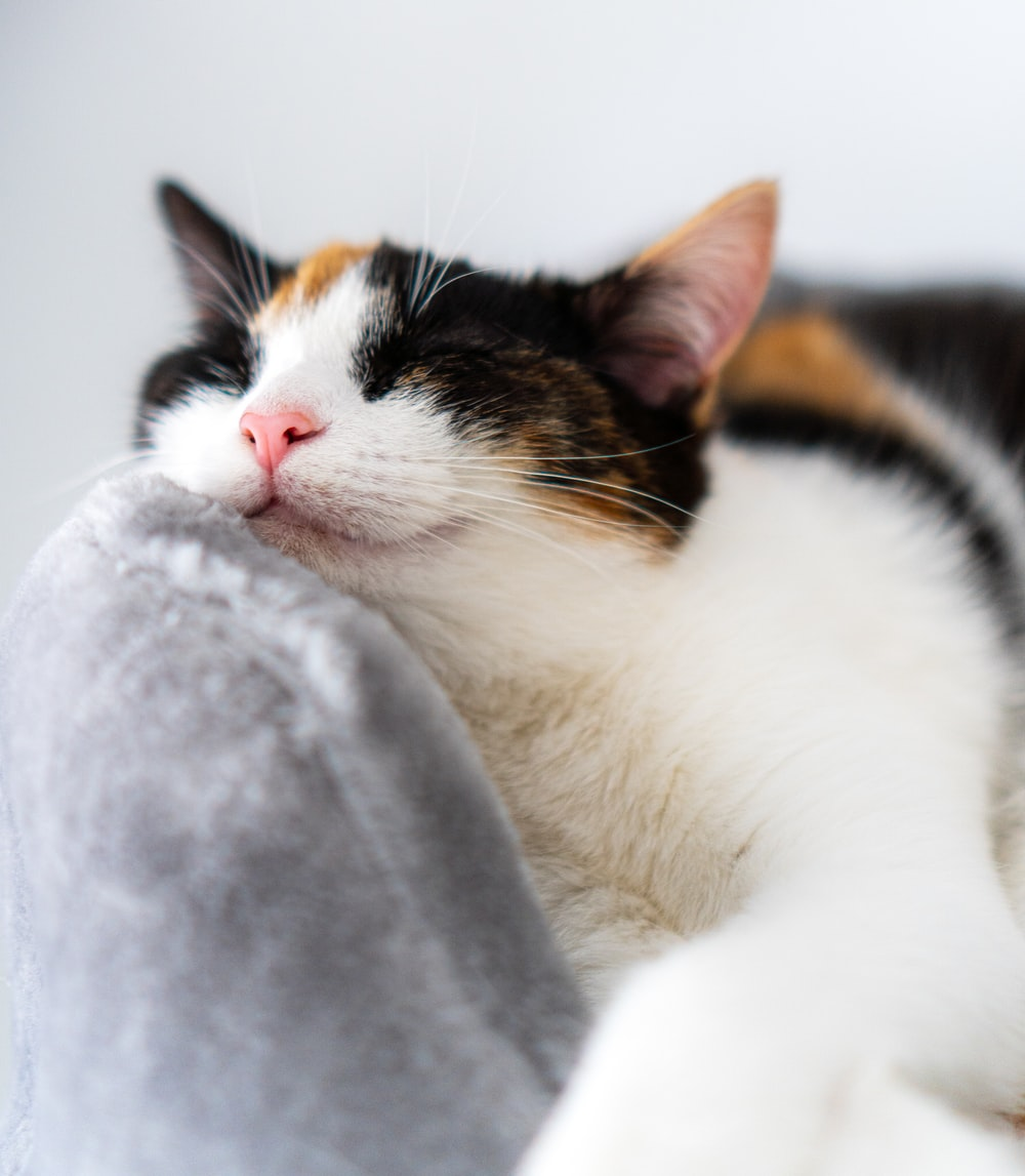 white black and brown cat on gray textile