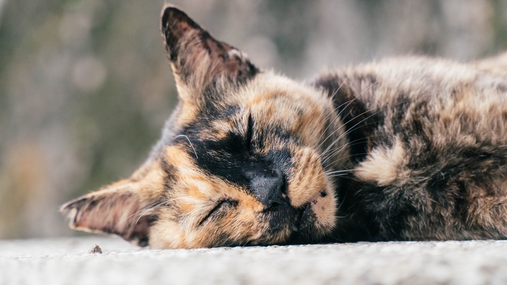 brown and black cat lying on white textile