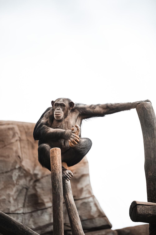 black monkey on brown wooden stick