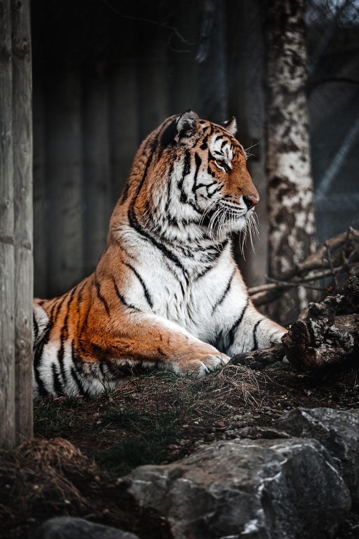 tiger lying on brown soil