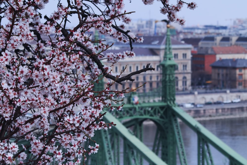 pink cherry blossom tree near bridge during daytime