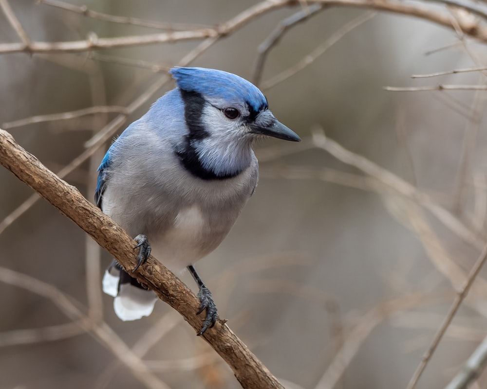 blue and white bird on brown tree branch