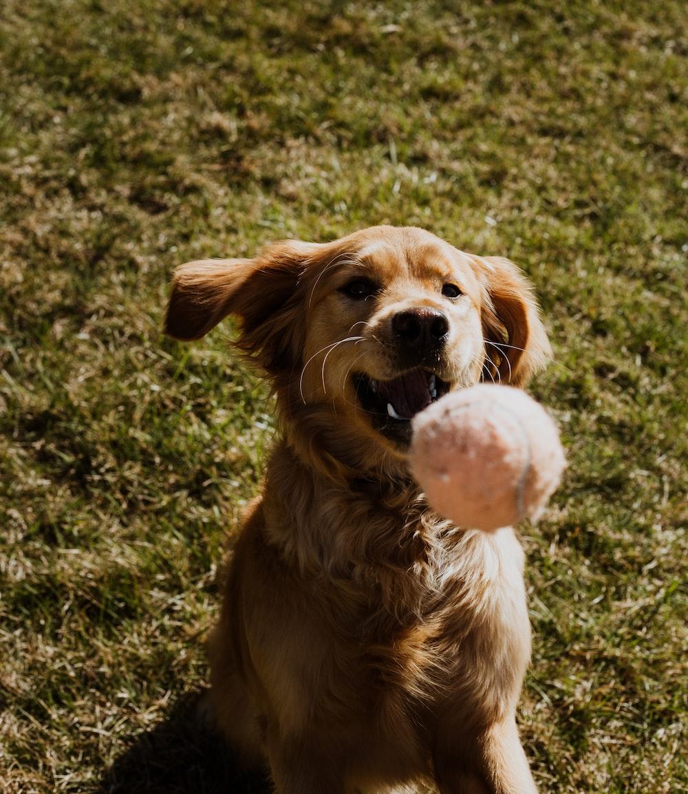 golden retriever biting white and pink ball