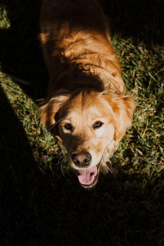 golden retriever lying on green grass field during daytime