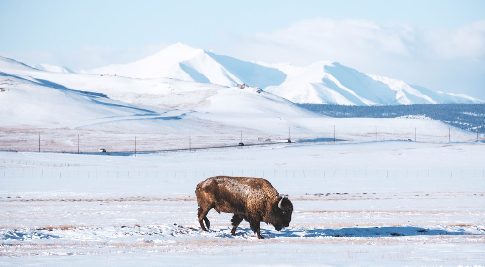 brown cow on snow covered field during daytime