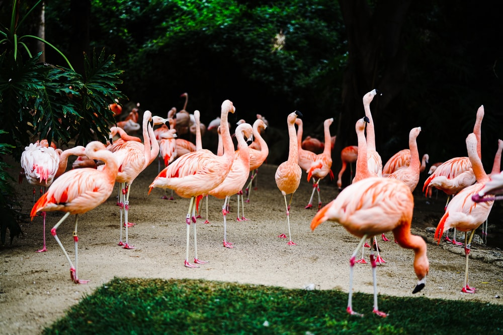 flock of flamingos on green grass field during daytime