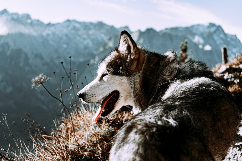 black and white siberian husky on brown grass field during daytime