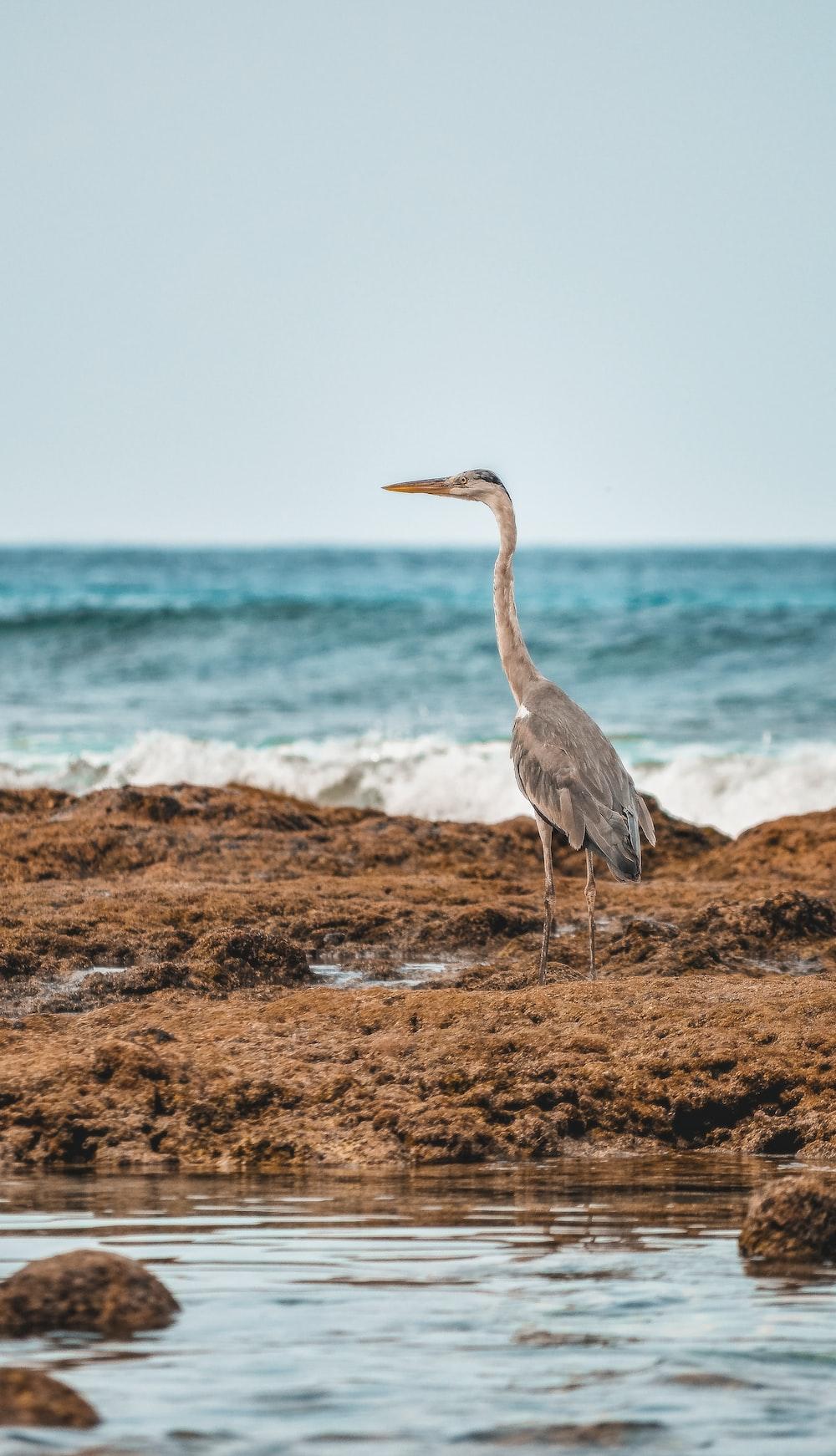 grey heron on brown field near sea during daytime