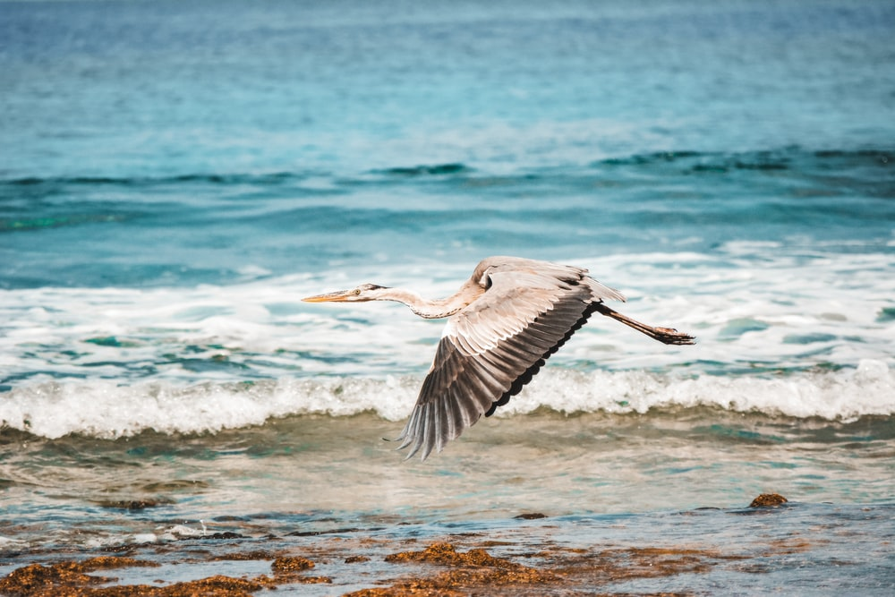 white pelican flying over the sea during daytime
