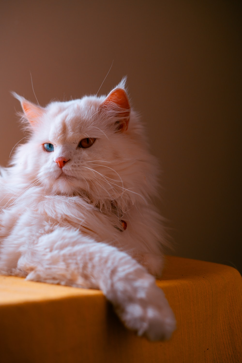 white persian cat lying on brown wooden table