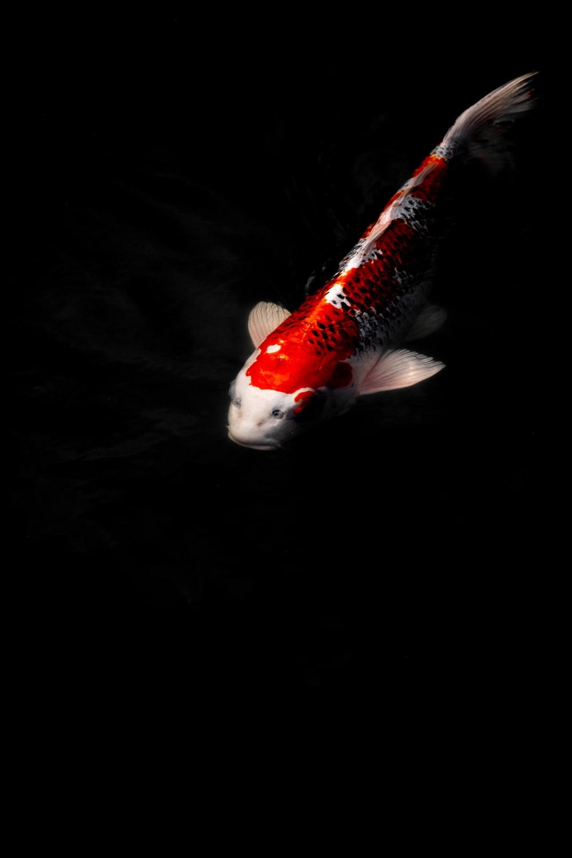 orange and white fish in dark room