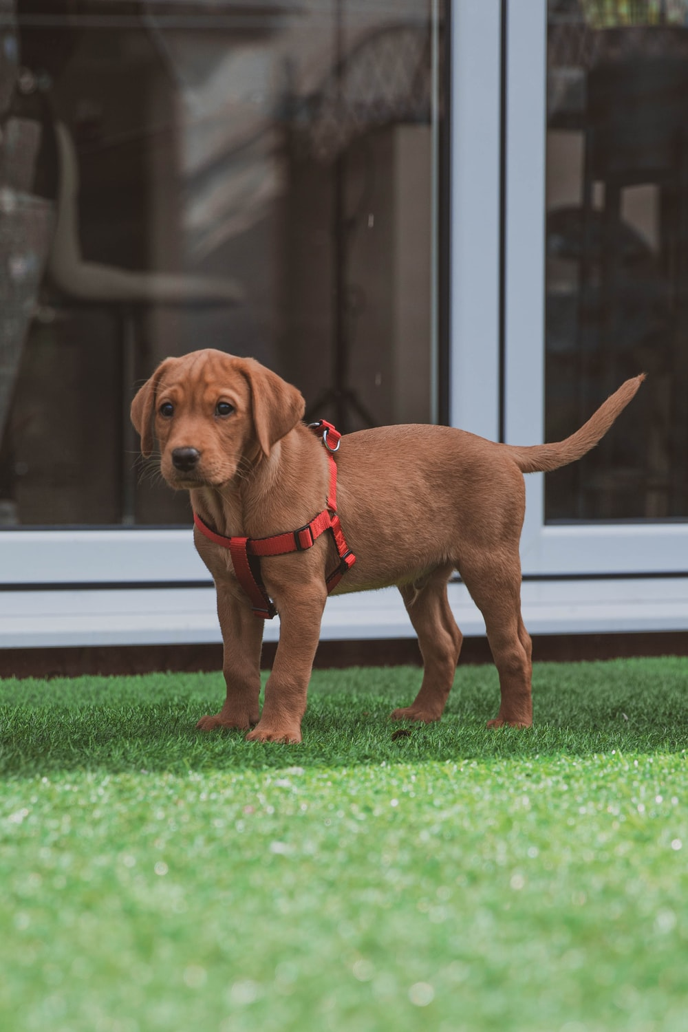 brown short coated dog on green grass lawn