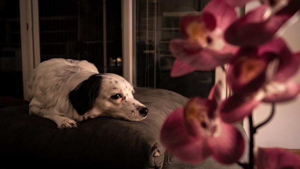 white and black short coated dog lying on bed