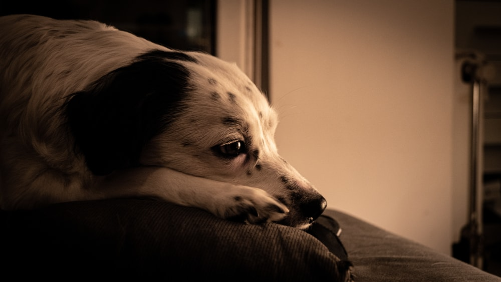 white and black dalmatian dog lying on black leather couch