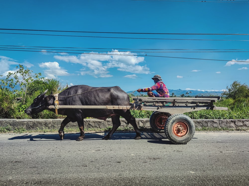 black cow on brown wooden cart under blue sky during daytime