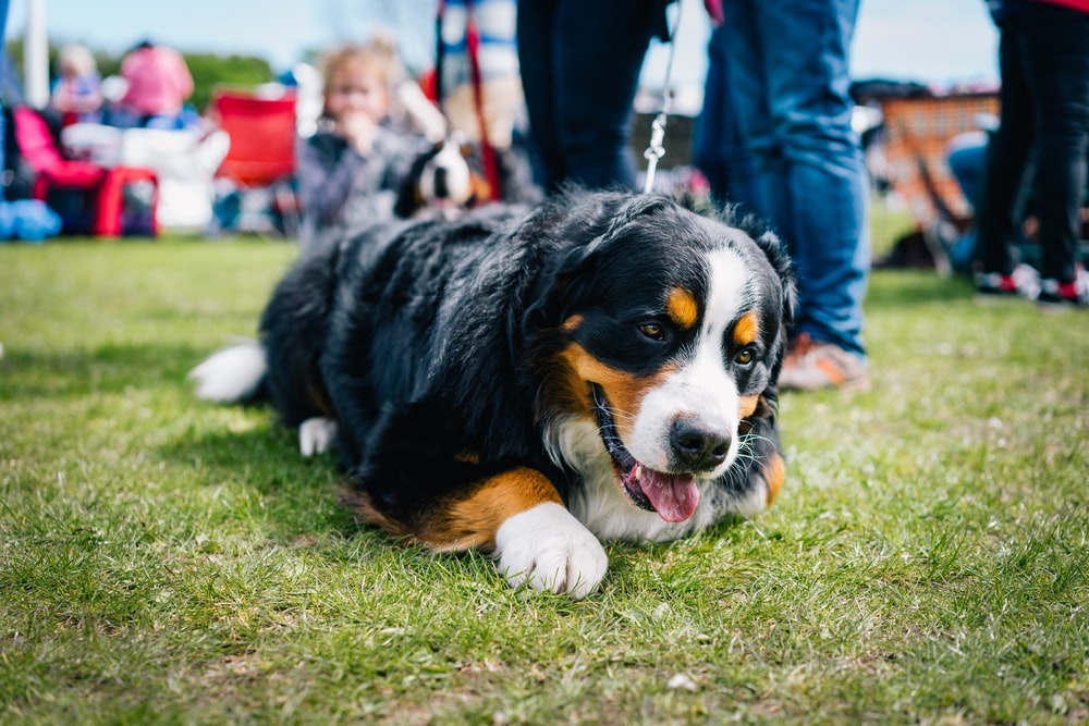 tricolor bernese mountain dog puppy on green grass field during daytime