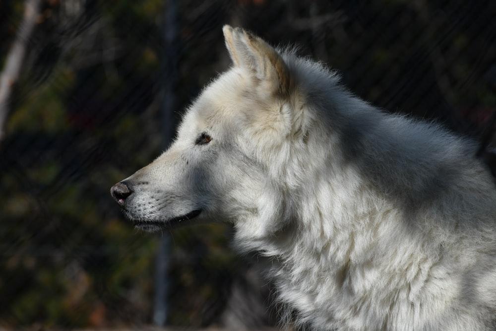 white wolf in tilt shift lens