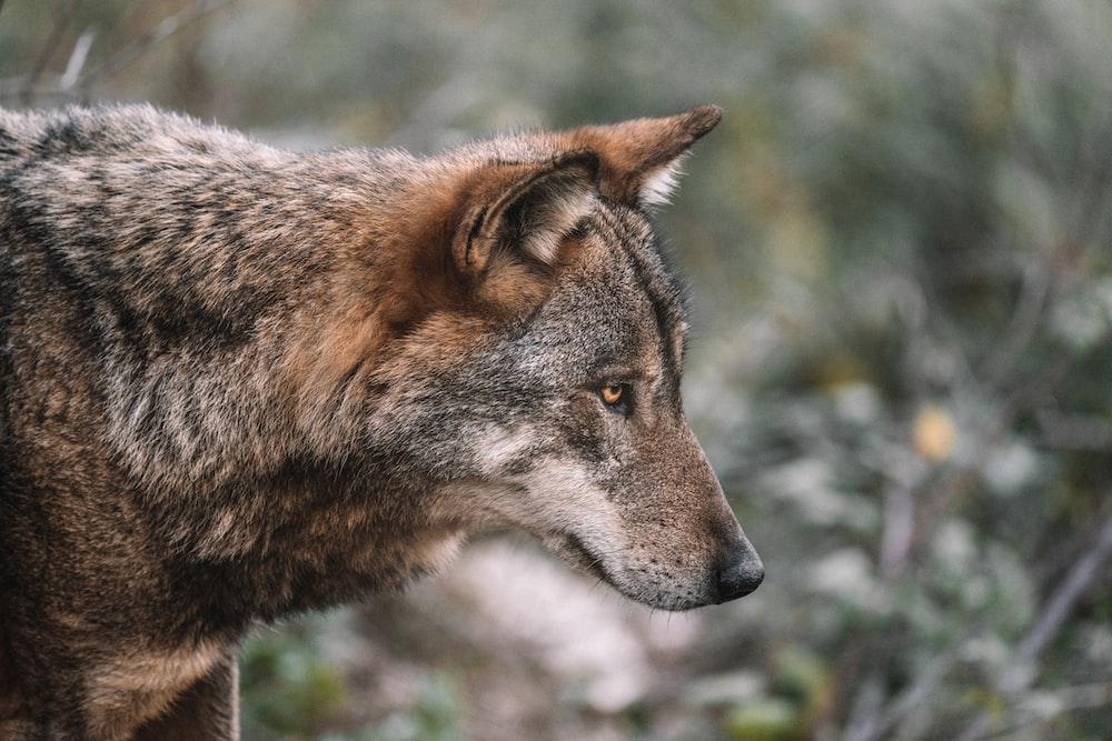 brown and black wolf in tilt shift lens