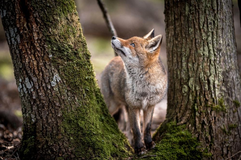 brown fox on green moss