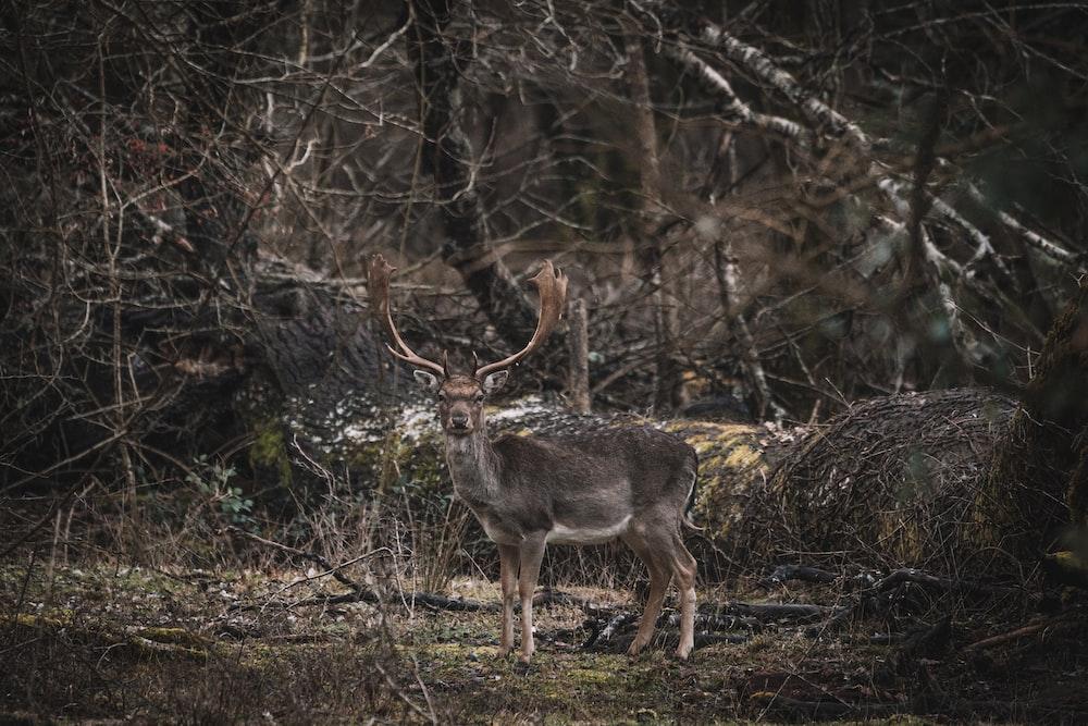 brown deer on brown grass during daytime
