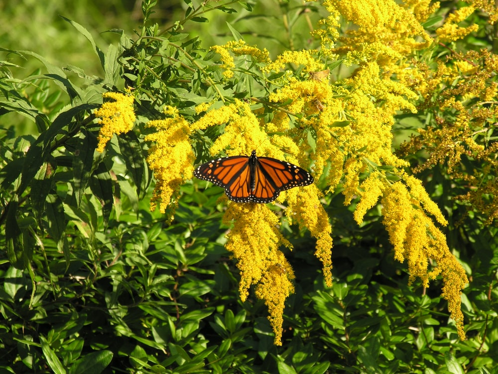 monarch butterfly perched on yellow flower during daytime