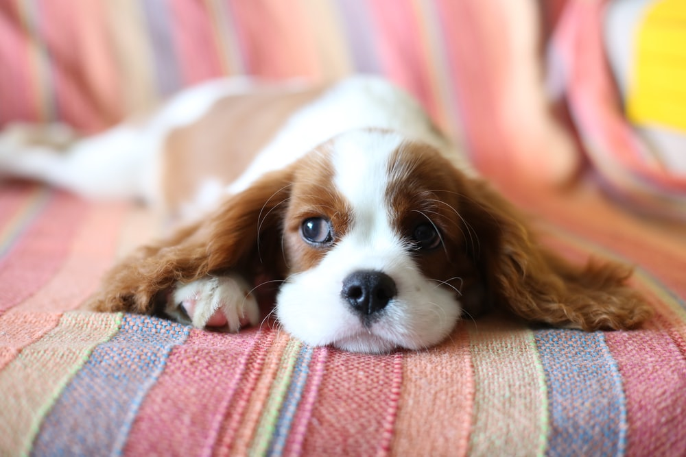 brown and white long haired small dog lying on red and white textile
