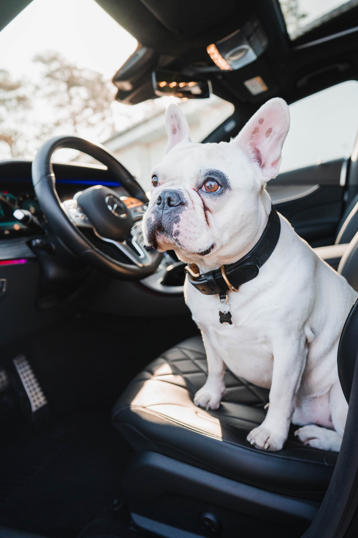 white and black french bulldog sitting on car seat
