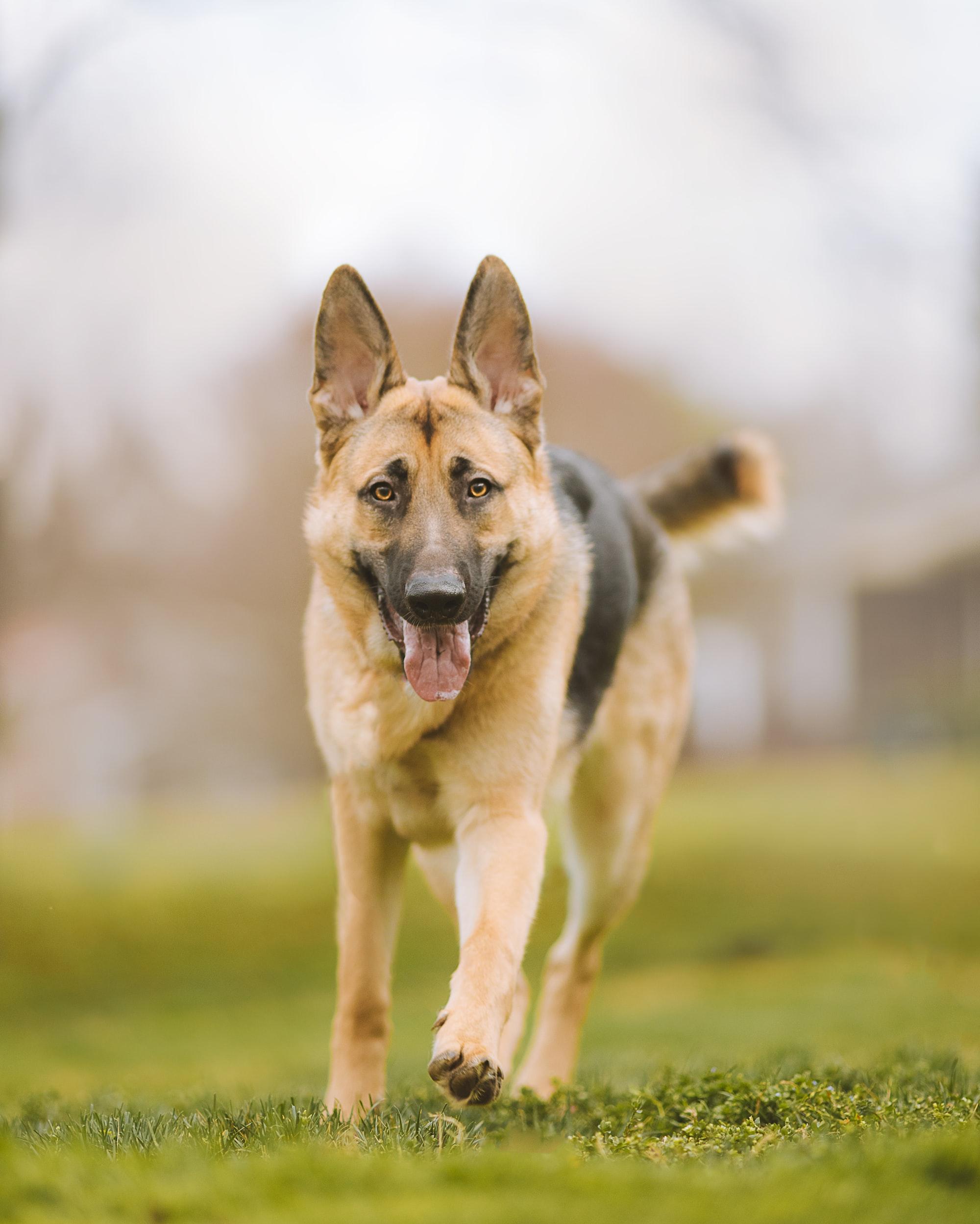 A German Shepherd runs towards the camera.