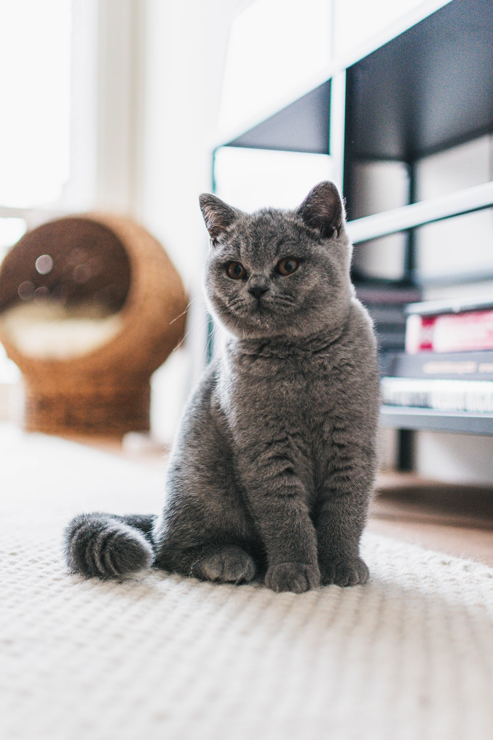 russian blue cat on white textile