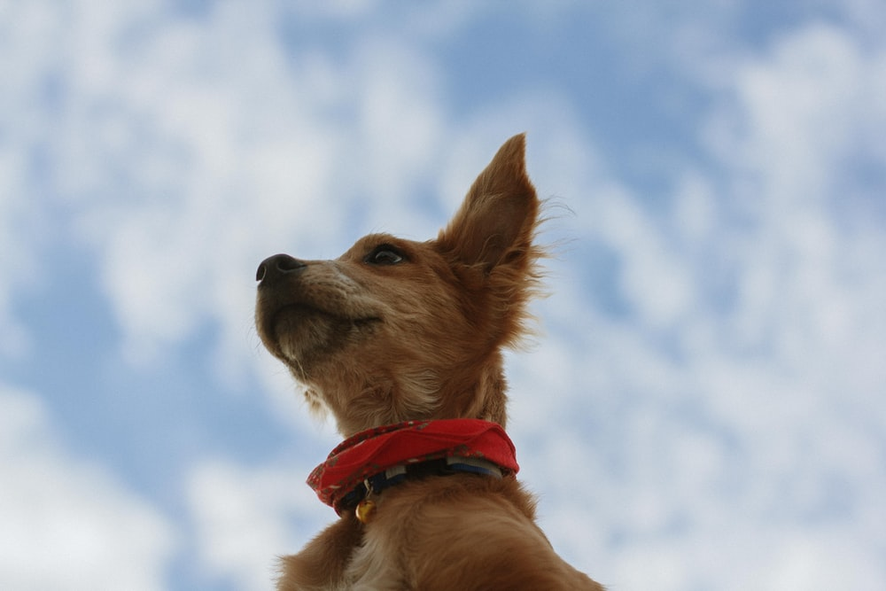 brown short coated dog with red collar