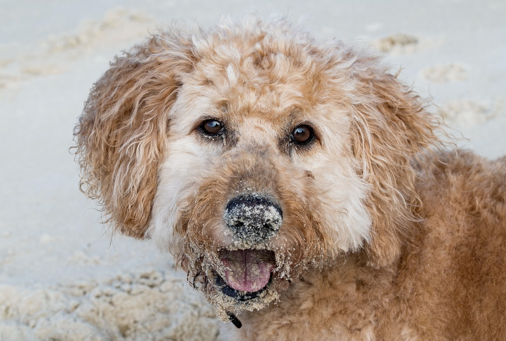 brown curly haired small dog