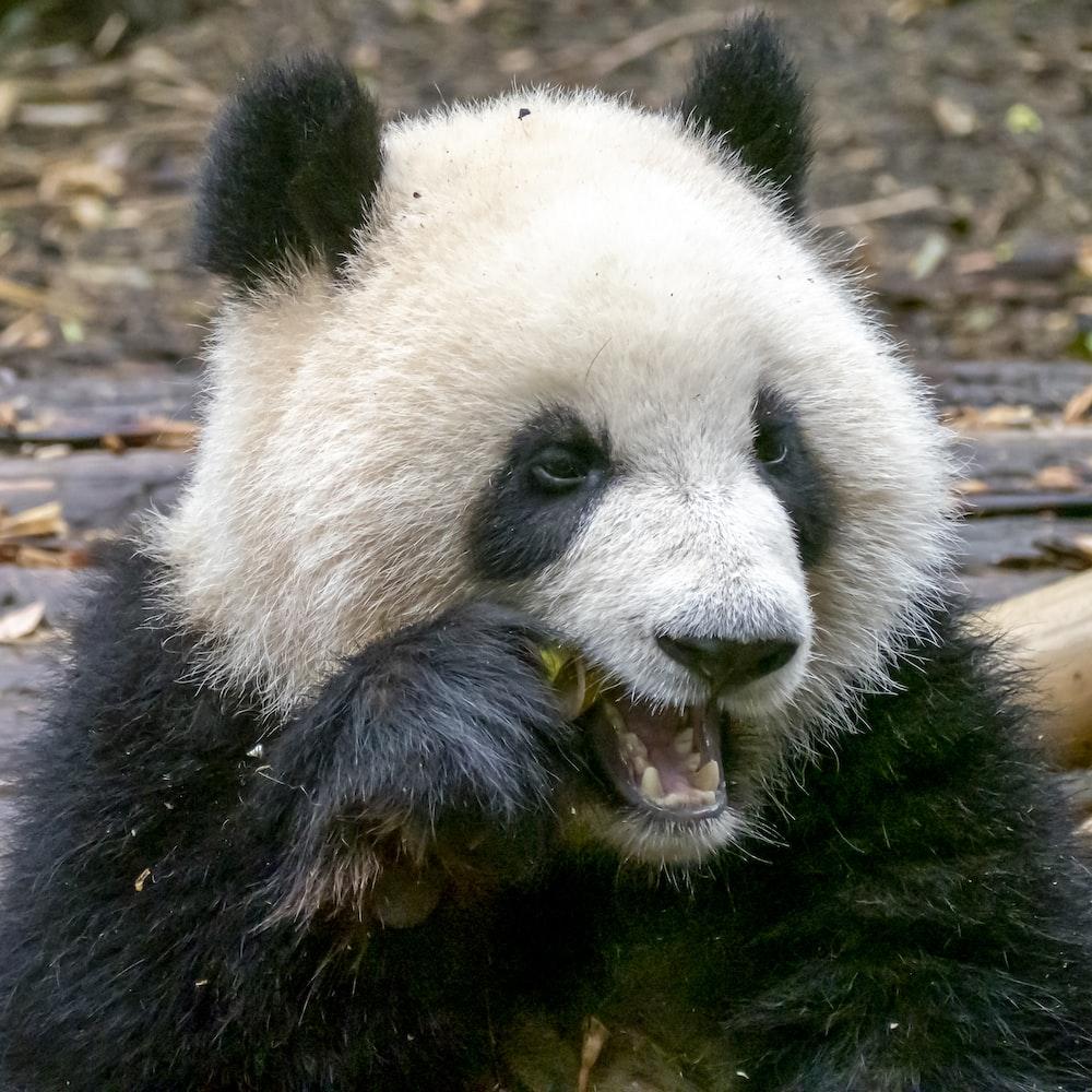 black and white panda on brown tree branch during daytime