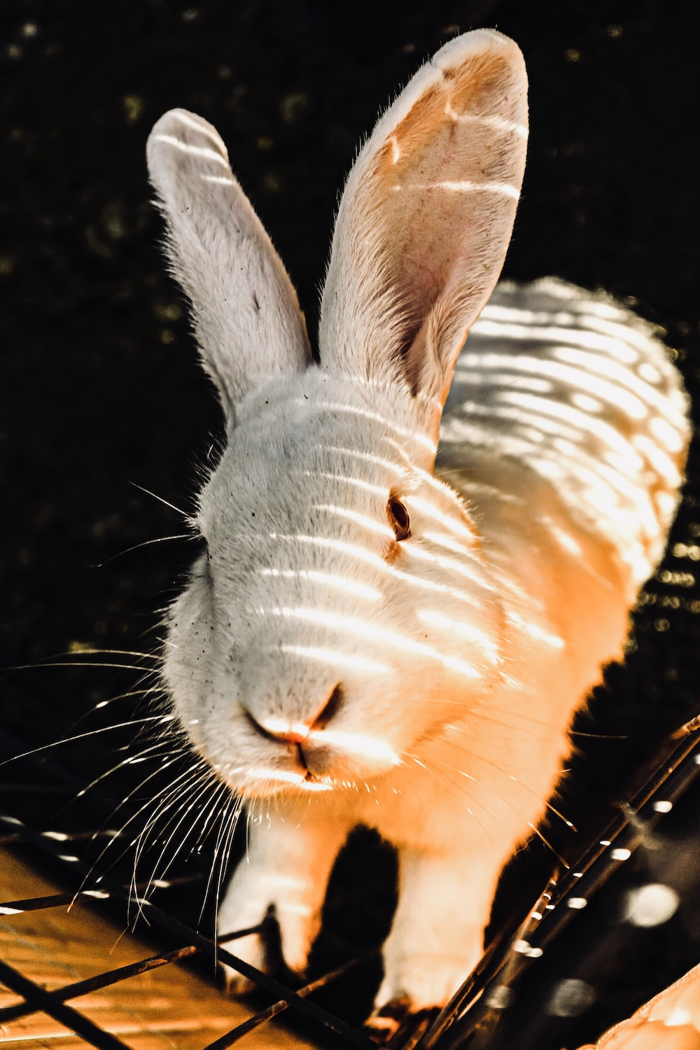 white and gray rabbit on black background
