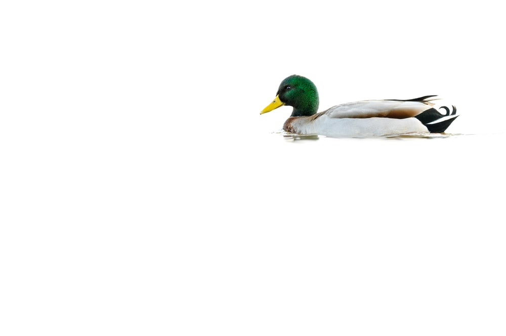 white and green duck on white background